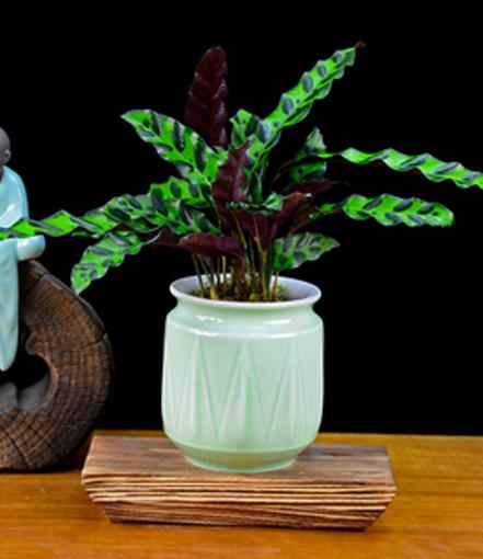 猫眼孔雀竹芋