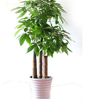单杆发财树(1.5米)