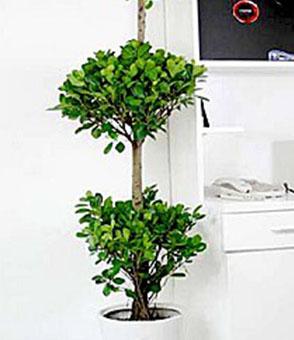 摇钱树(1.5米)